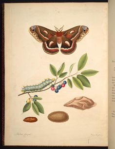 Image of Illustration of Phalжna Cecropia.  Prunus Pensylvanica 45