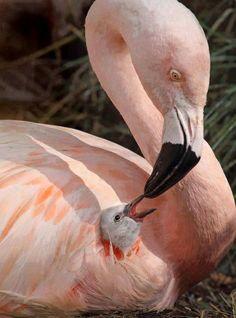 Flamingo mum and baby
