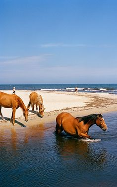 Wild horses swimming at beach.. Outer Banks, North Carolina