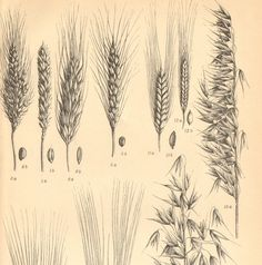 1904 Different Kinds of Cereals Wheat Rye by CabinetOfTreasures, $16.95