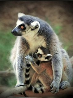 ~~ Mother and Baby Monkey (photograher's title) ~~ Ring-tailed Lemurs, not monkeys, to be accurate ~~ Amazing Animals, Unusual Animals, Animals Beautiful, Primates, Mammals, Animals And Pets, Baby Animals, Cute Animals, Animals Planet