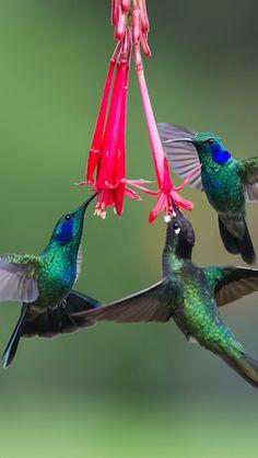 sfbay590:  radivs:  'Three's a Crowd!!!!' by Judylynn Malloch via 500px Three hummingbirds feeding at the flowers.  Beautiful…