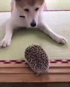 Good Boi meets SpikyBoi