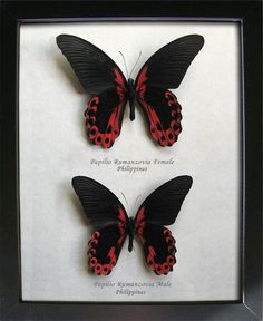 Red Mormon Papilio Rumanzovia PAIR Real Butterflies In Museum Quality Shadowbox by ButterfliesArtist on Etsy