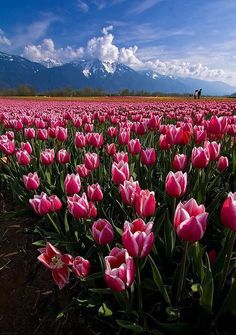 Tulips!! Canada
