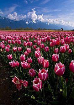 Amo tulipas!!