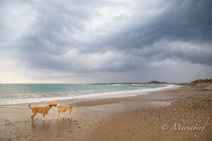 Turkiet, Atalanya strandhundar av fotograf Maria Berg. Dogs on the beach in Turkey