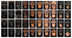 Ape Typologies by James Mollison. Photographed in Indonesia and the Republic of Congo