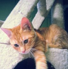 Cosmo is a 4-month old adorable orange tabby. This little guy is super playful and active, friendly, and affectionate. Cosmo gets along with kids, other cats, and dogs. He is also loving and enjoys being held and petted. His favorite activity is...