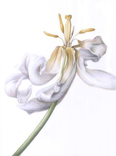 White tulip faded detail, in watercolor White Tulips, Tinkerbell, Disney Characters, Fictional Characters, Watercolor, Disney Princess, Detail, Spring, Illustration