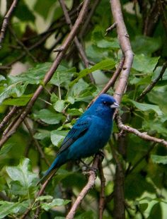 Indigo Bunting - I saw this in our back yard in Dothan, Alabama and also in the NE Georgia mountains - just stunning.