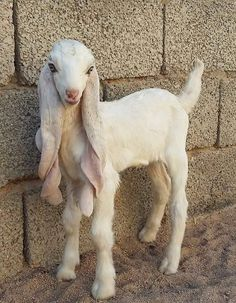 A breed of goat from Pakistan! A gorgeous little face, and such very long ears!?
