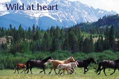Wild horses: A brief history of the horse in America - Canadian Geographic Magazine: In-depth