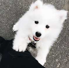 Cute Baby Animals, Animals And Pets, Funny Animals, Cute Puppies, Dogs And Puppies, Doggies, Samoyed Puppies, Husky Puppy, Female Dog Names