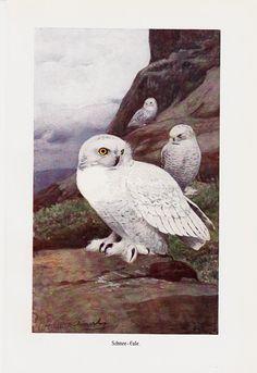 1910 Antique SNOW OWL print, white owls in mountains