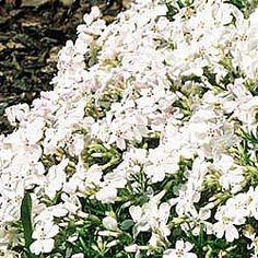Inspiration:White Delight Carpet Phlox.