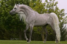 """ALAA Jabbar MA ABSHA (Jamal El Dine x EL'WA'HA Mar'taba) 2005 Grey Stallion  """"When Beauty, Breeding is not an option a stallion with elite Egyptian heritage"""" The Only stallion Standing In North America with his bloodlines!!  *ALAA JABBAR MA   ABSHA  Cooled semen available  Frozen Semen available for: Europe, Middle East , United Emerites, United Kingdom, Australia. *Alaa Jabbar is, a stunningly exotic straight Egyptian, stallion. His sire is NK Jamal El Dine , who is by the legendary NK…"""