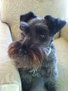 Mini Schnauzer My favorite breed cause we have one. ;)