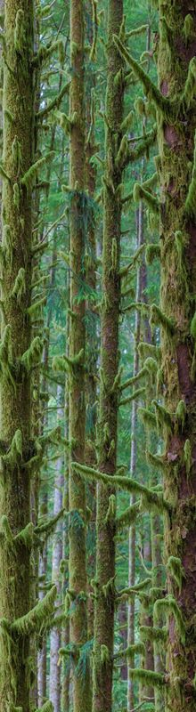 This was by far my favorite place in the Hoh Rain Forest area of Olympic National Park. It is actually located about 5 miles west outside the main section along the road.    I parked the car on a wide shoulder and walked in just a few feet. I suddenly felt cutoff from the rest of civilization among a thick forest of skinny moss-covered trees as far as I could see. What was so unique were all the short branches on all the trees.