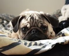 Mr. Pug is ready for cuddles
