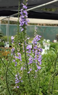 """Campanula pyramidalis 'Blue' """"Chimney Bellflower"""" -- to 6' tall, blooming mid-summer through fall.  Tolerates a wide variety of conditions.  Sun to bright shade."""