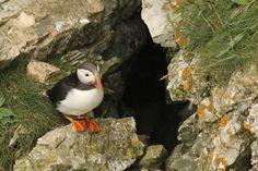 Atlantic puffin #Atlantic_puffin #birdwatching Birdwatching, Animals, Animales, Animaux, Animal, Animais, Birds