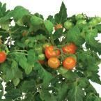 AeroGarden Heirloom Cherry Tomato Universal Seed Pod Kit