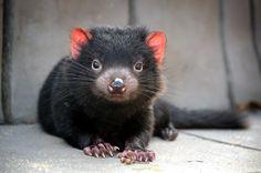 19 Funny Tasmanian Devil Meme Images and Photos Animals And Pets, Baby Animals, Cute Animals, Animal Babies, Cute Little Kittens, Australia Animals, Tasmanian Devil, Wild Dogs, Fauna