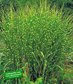 Best BALDUR Garten Chinaschilf Zebragras Pflanze Miscanthus zebrinus strictus