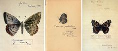 """not-blonde:  """" Nabokov's Drawings:  The drawings of butterflies done by Vladimir Nabokov were intended for """"family use."""" He made these on title pages of various editions of his works as a gift to his wife and son and sometimes to other relatives. In..."""