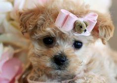 Teacup Poodle Puppies