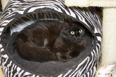 Meet Furball, a Petfinder adoptable Domestic Long Hair-black Cat | Chicago, IL | Meet Furball!! She is a very beautiful little girl with big green eyes. She came from Animal Care...