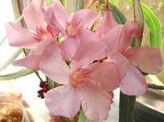 OLEANDER HAUS  Nerium Oleander Gotsis Argyra Nerium, Create, Board, Natural Beauty, Plants, Poster, House, Plant, Sign