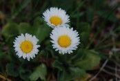 Bellis perennis Bellis Perennis, Nature Plants, Faeries, Planting Flowers, Flora, Daisy, Herbs, Instagram, Pantry