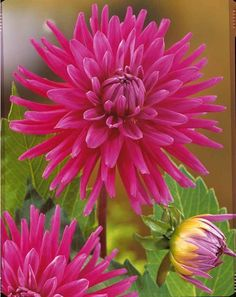 #Dahlias cactus 'Purple Gem'