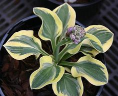 New Hosta 'Lucky Mouse'  mini to small size Hosta.