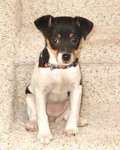looks like rascal when he was younger Rat Terrier Dogs, Toy Fox Terriers, Rat Dog, Dog Cat, Miniature Fox Terrier, Puppies And Kitties, Doggies, Cutest Dog Ever, Jack Russell Terrier