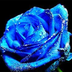 Rosa Azul con gotitas de agua
