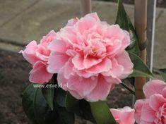 DOROTHY JAMES camellia (LOVE her)