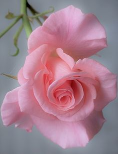 Most Beautiful Pink Flowers with Pictures Beautiful Rose Flowers, Beautiful Flowers Wallpapers, Love Rose, Amazing Flowers, Beautiful Gardens, Cactus Flower, Flower Art, Pink Roses, Pink Flowers