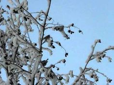 PC180298 (+soittolista) lintuja laulavat samalla talven aikaan lentävät