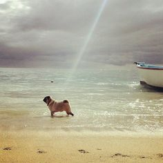 """And God said """"let there be Pug"""".  And it was good."""