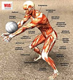 Other- Volleyball is great for the muscular system. The biceps brachii,tensor fascia latae,trapezius,and triceps brachii muscles are used for this activity. Volleyball Training, Volleyball Skills, Volleyball Memes, Volleyball Workouts, Coaching Volleyball, Volleyball Players, Volleyball Team Pictures, Volleyball Ideas, Beach Volleyball