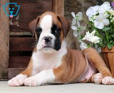 Milo | Boxer Puppy For Sale | Keystone Puppies Boxer Puppies For Sale, Falling In Love With Him, Design Development