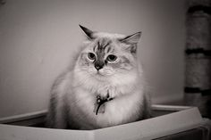 Sushi the cat by iamcjun, via Flickr