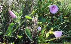 FOTOS DE FLORA NATIVA Y ADVENTICIAS DE URUGUAY : Hibiscus striatus. Malvacea
