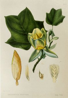 Tulip Tree Print by Prestele Book Plate SALE от GalleryBotanica
