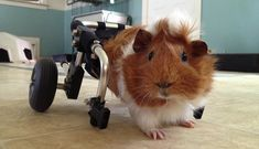 Everyone Came Together To Help This Abused Guinea Pig Walk Again - The Dodo