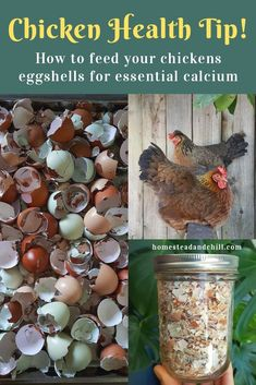 It is essential to provide laying hens with free choice calcium for healthy egg development, and to prevent serious health issues! Come learn how to properly provide eggshells or oyster shells as a calcium source for your flock. Chicken Barn, Diy Chicken Coop Plans, Chicken Coop Designs, Backyard Chicken Coops, Inside Chicken Coop, Small Chicken Coops, Chicken Houses, Raising Backyard Chickens, Keeping Chickens