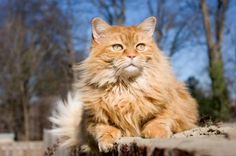 Maine Coon Cat http://www.mainecoonguide.com/maine-coon-personality-traits/